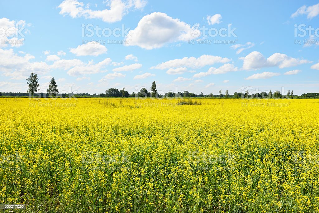 yellow rapeseed field in Latvia stock photo