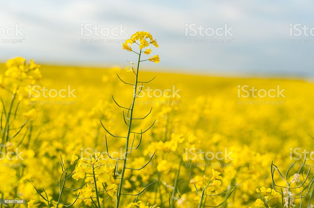 Yellow Rapeseed Field. Landscape. Rural area nature. stock photo