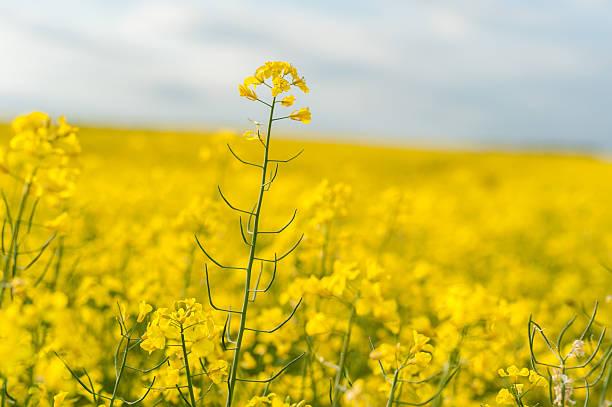 yellow rapeseed field. landscape. rural area nature. - rübsen stock-fotos und bilder