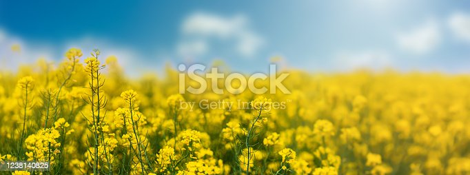 istock Yellow rapeseed field with blue sky, flowering plants close up. Color wide-angle agricultural background with copy space 1238140825