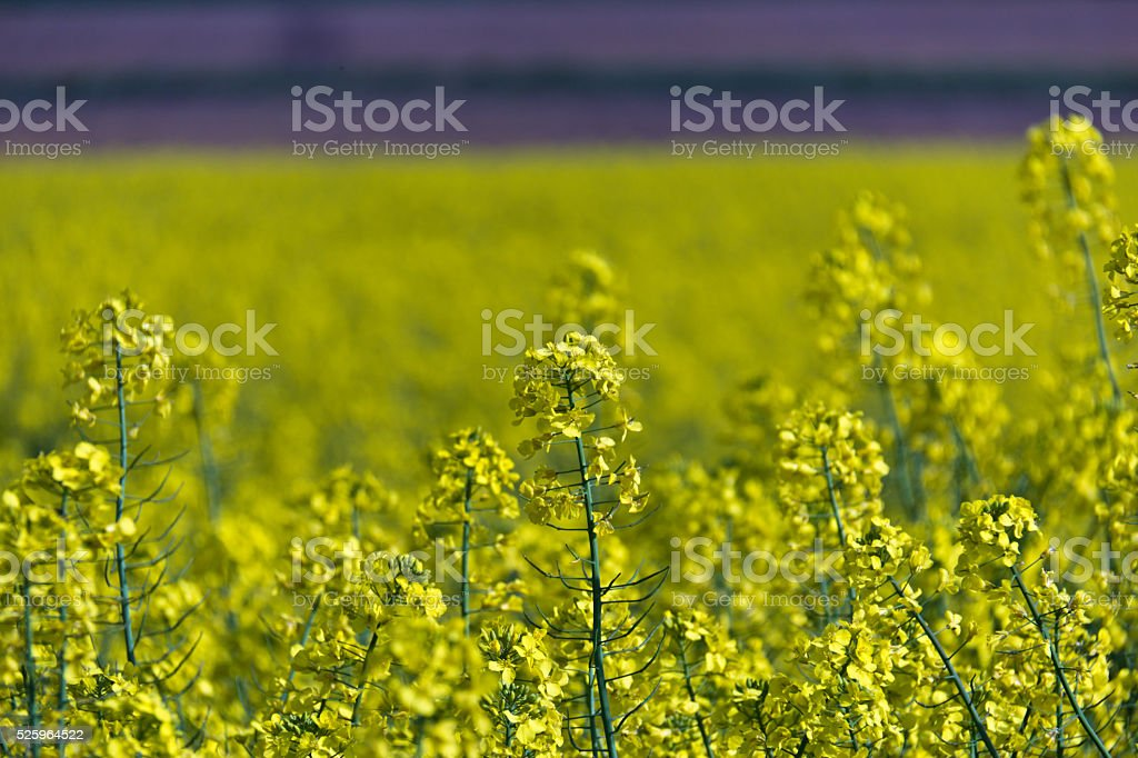 Yellow rapeseed flowers - selective focus stock photo