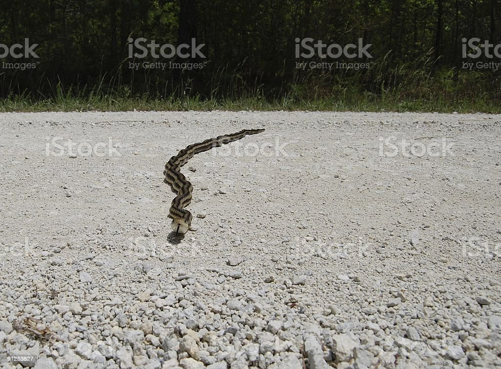 Yellow Rat Snake Crossing The Road royalty-free stock photo