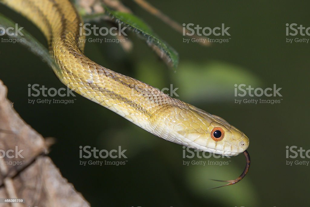 Yellow Rat Snake With Tongue Out stock photo