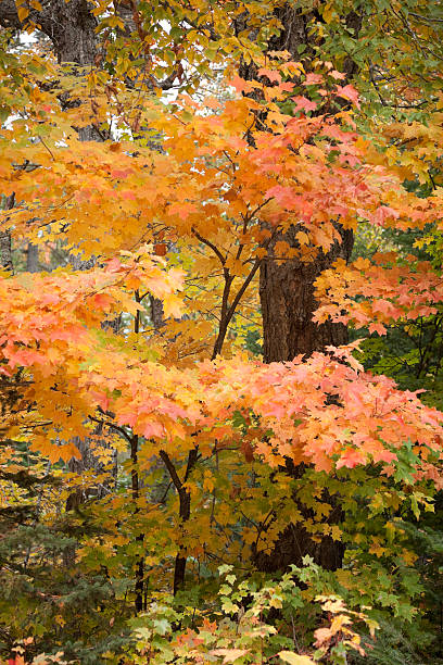 Yellow, red and orange fall colors in maple forest. stock photo