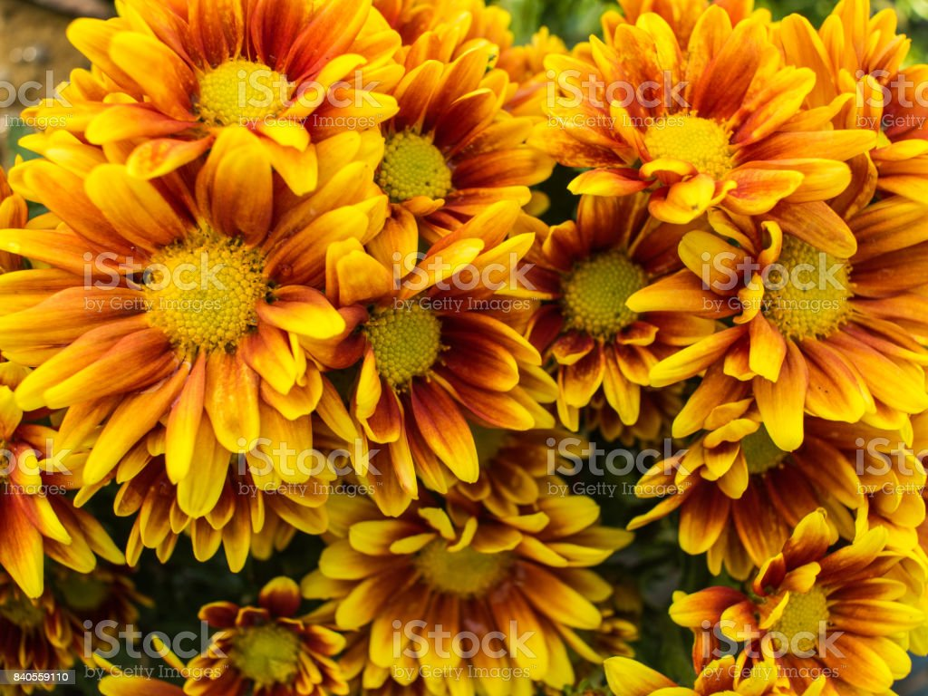 Yellow Red Chrysanthemum Flower blooming stock photo