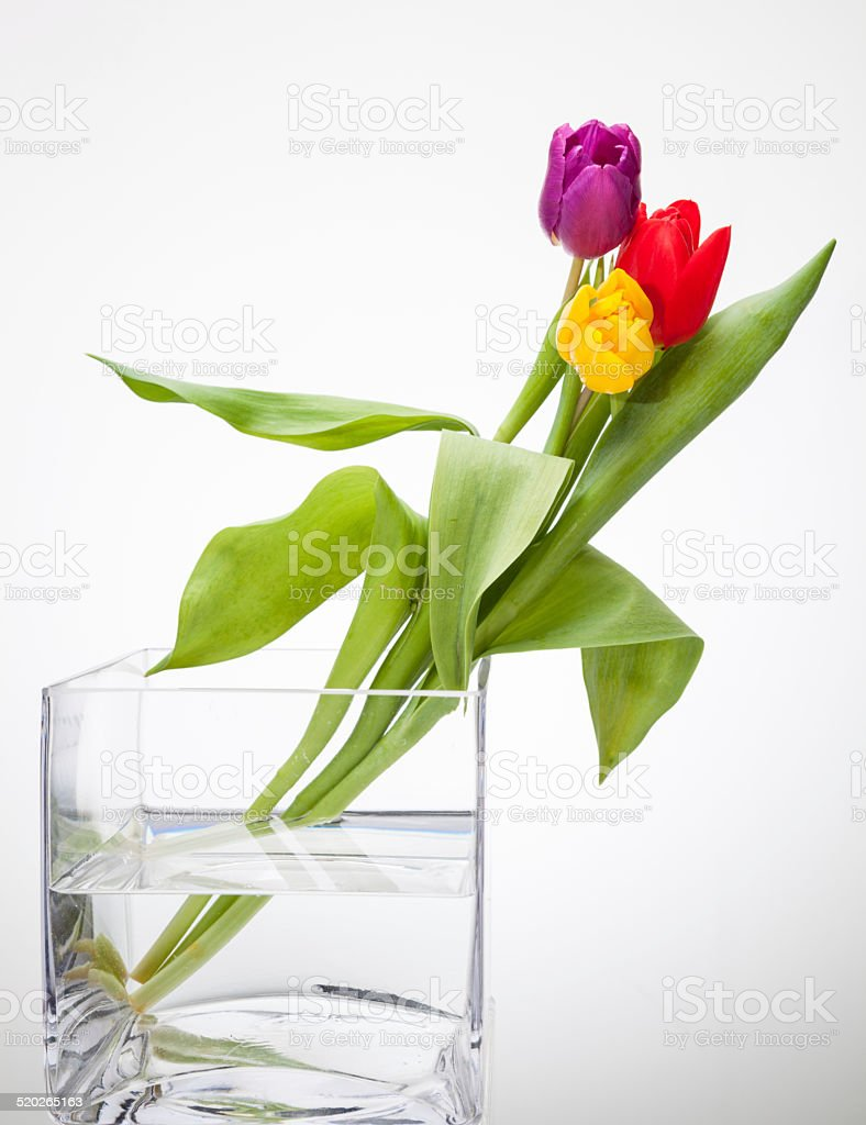 yellow red purple tulips in square glass vase isolated on white