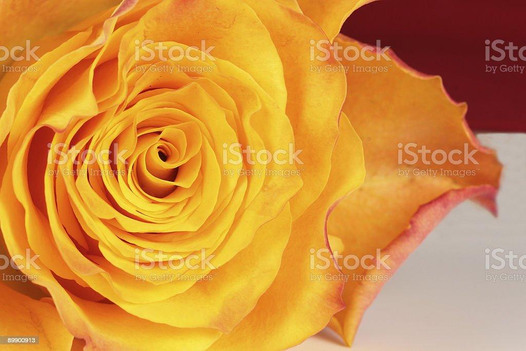 Желтый красный Rose Стоковые фото Стоковая фотография