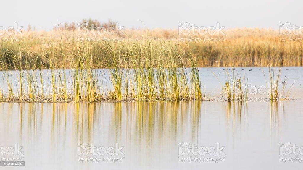 Photo libre de droit de Roseaux Jaunes Au Bord Du Lac Dans
