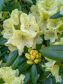 Photo of the yellow Rhododendron flowers in the public park. Big flowers on big bushes.