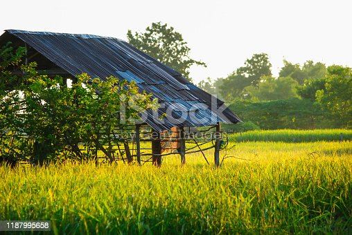 November, yellow rice fields await harvest in Southeast Asia, Myanmar, Laos, Thailand, Vietnam, Cambodia, Indonesia, Philippines
