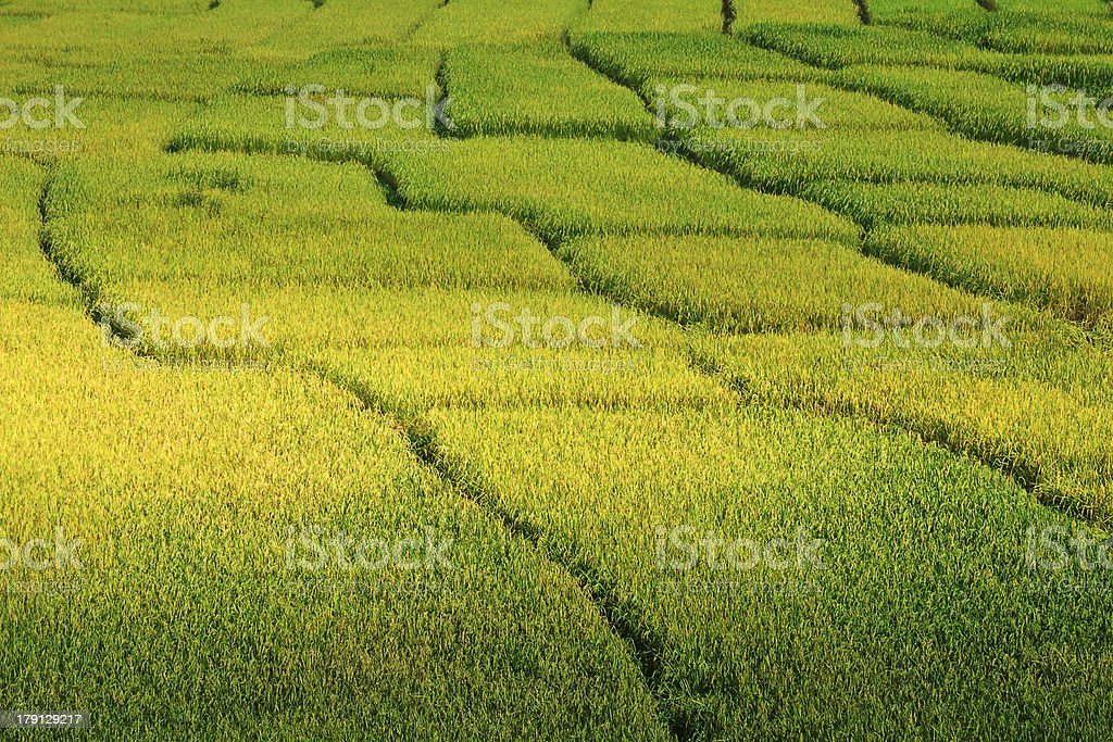 yellow rice paddy field in Thailand royalty-free stock photo