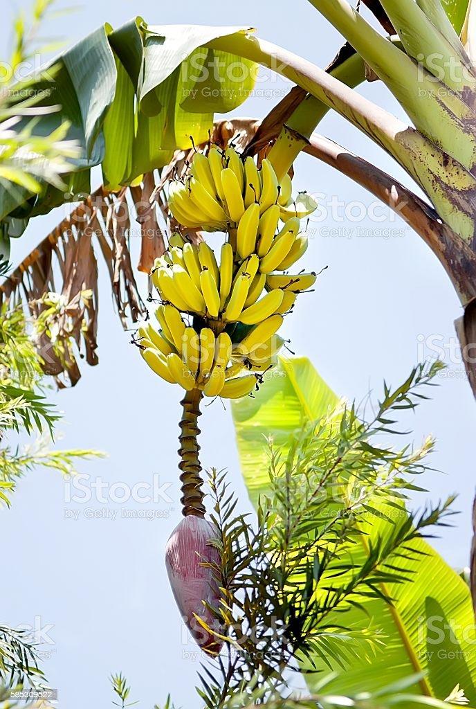 Yellow ripe bananas on a palm tree. stock photo