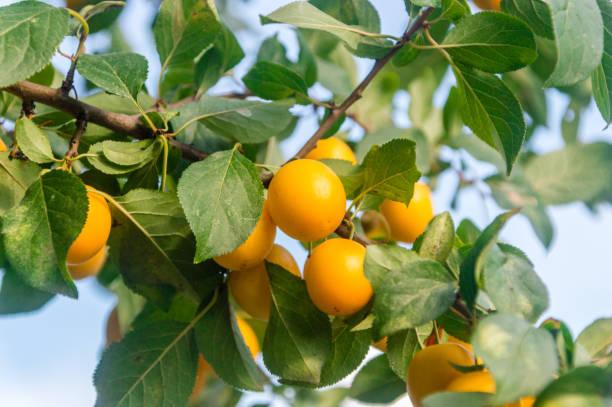 prune jaune mirabelle mûre. - mirabelle photos et images de collection