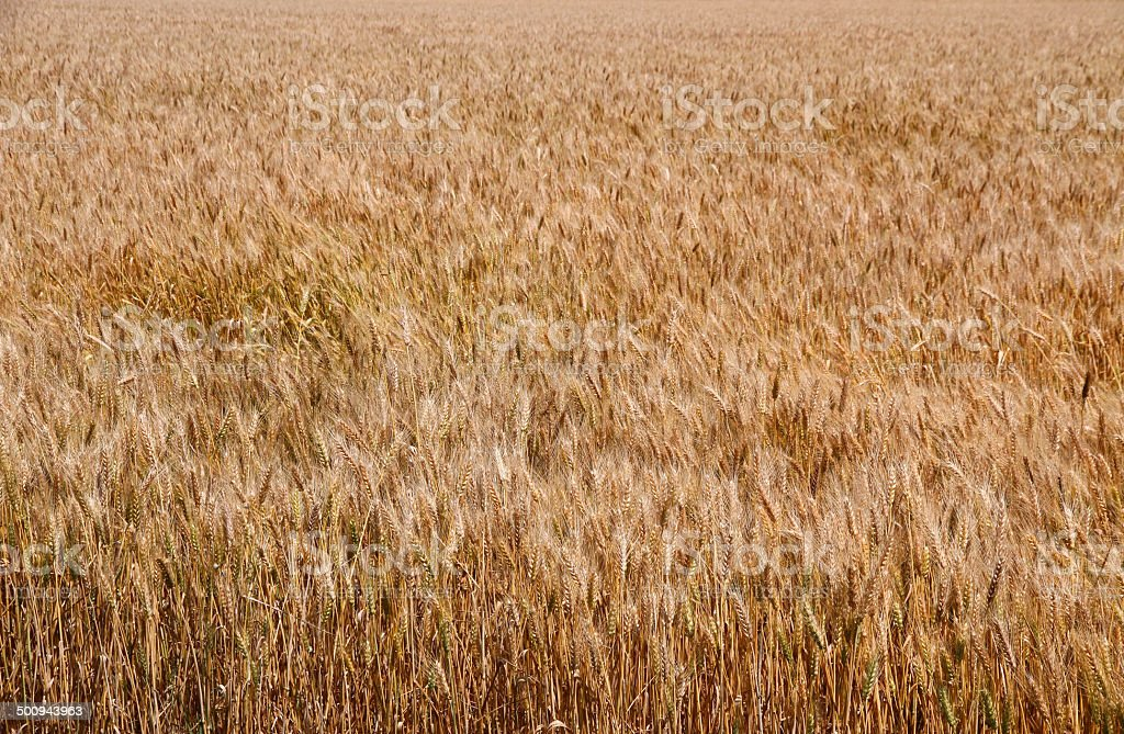 Yellow ripe wheat stalks are ready to be harvested stock photo