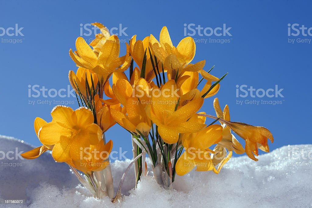 Yellow rocus in snowy flowerbed royalty-free stock photo