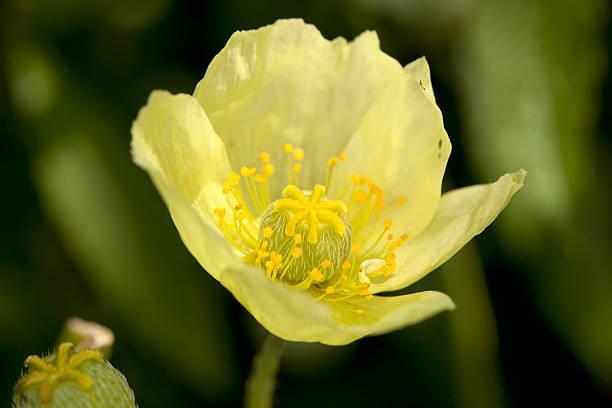 黄色の原点ポピー(papaver radicatum - アイスランドポピー ストックフォトと画像