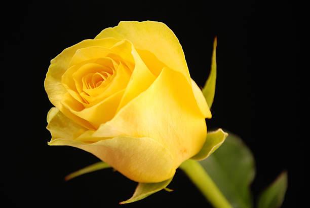 yellow rose - objet jaune photos et images de collection