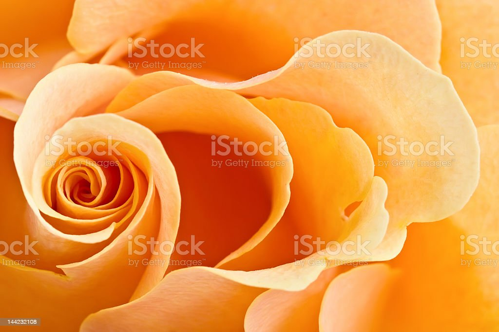 yellow rose background royalty-free stock photo