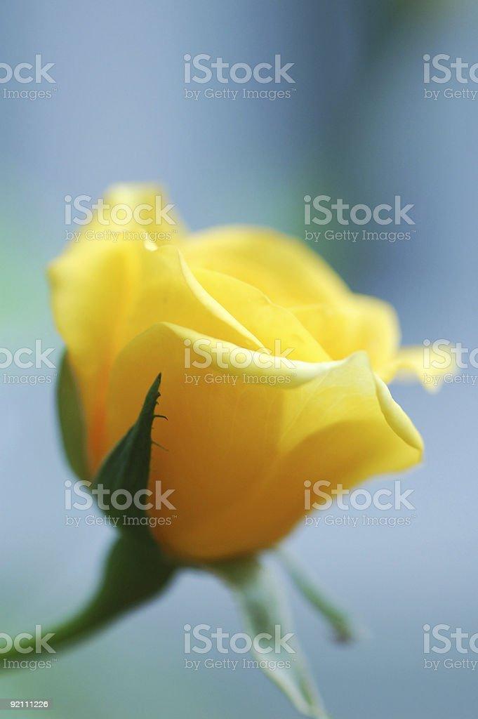 Gelbe rose-Knospe – Foto