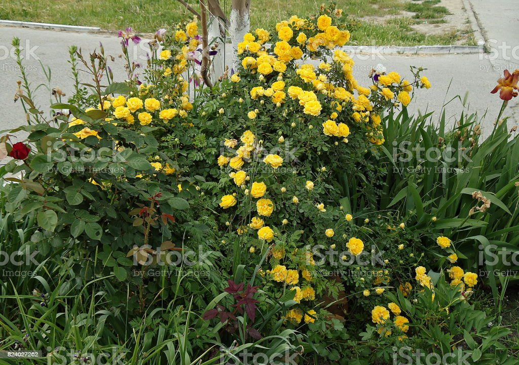 Yellow rose bush around a young tree trunk. Rose Foetida. Persian Yellow. stock photo