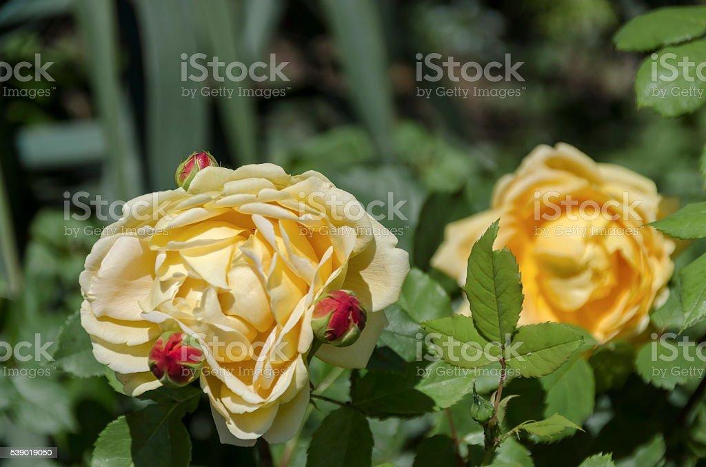 Sofia rose free pics