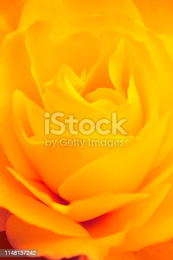 Close-up of a yellow rose. Shallow depth of field.