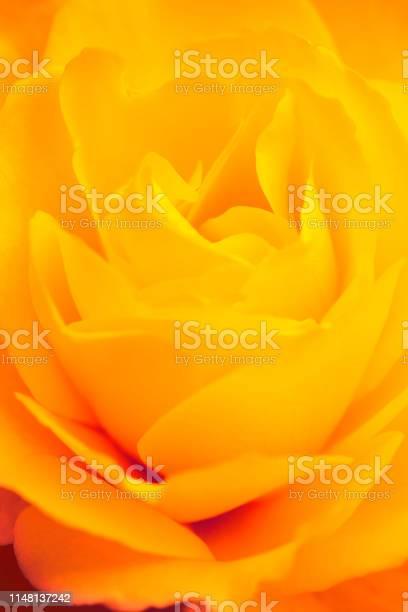 Yellow rose closeup picture id1148137242?b=1&k=6&m=1148137242&s=612x612&h=j4ol0mfljn2lzarrf2bksi4vjjrcwqj9upe9dzwcwum=