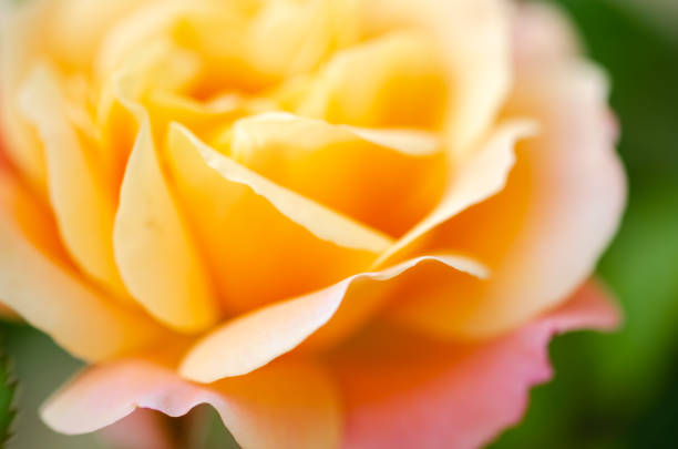 Royalty free single yellow rose pictures images and stock photos a yellow rose detail stock photo mightylinksfo
