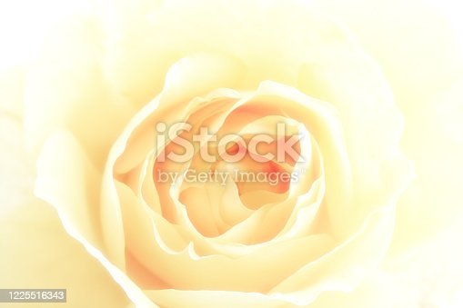 istock Yellow Rose Flower Bloom Close-Up Beauty In Nature 1225516343