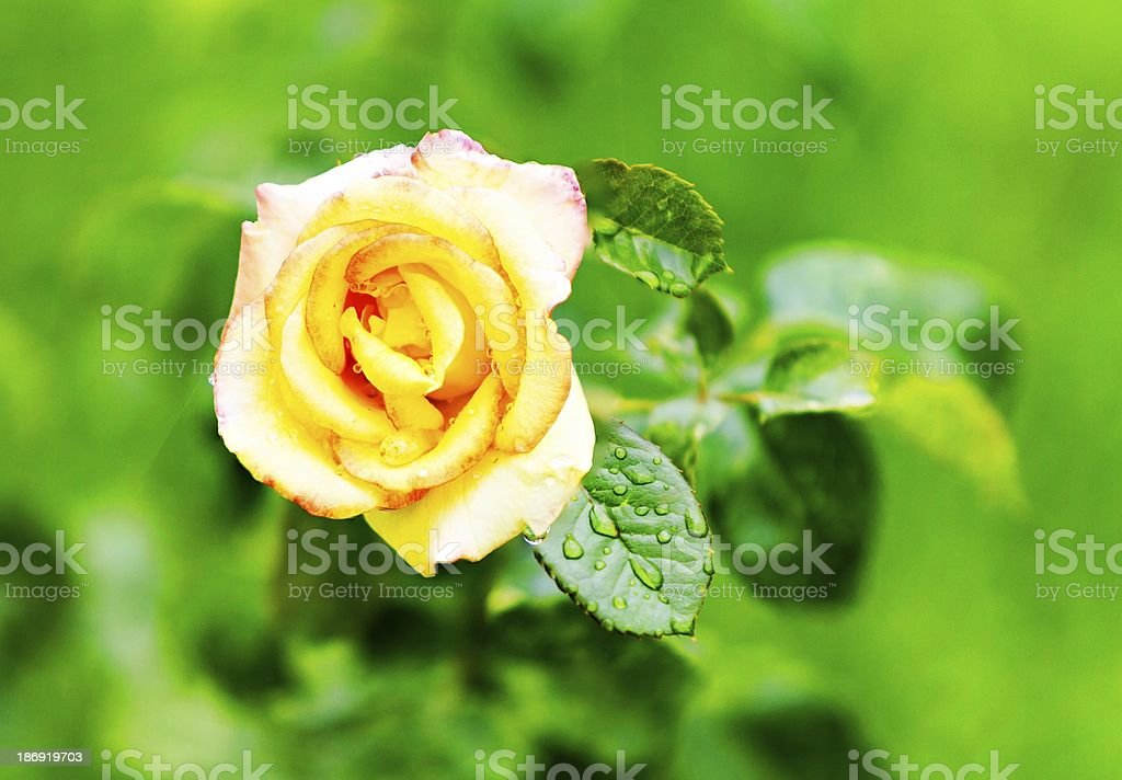 Yellow rose flower blossom royalty-free stock photo