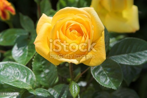 A lovely yellow rose growing on the bush.