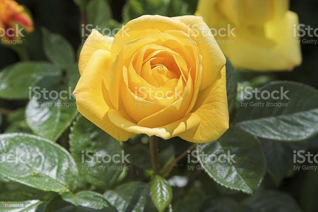 Yellow rose flower in bloom on rose plant stock photo