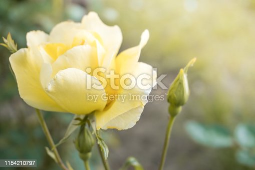 Yellow Rose. Isolated on white background