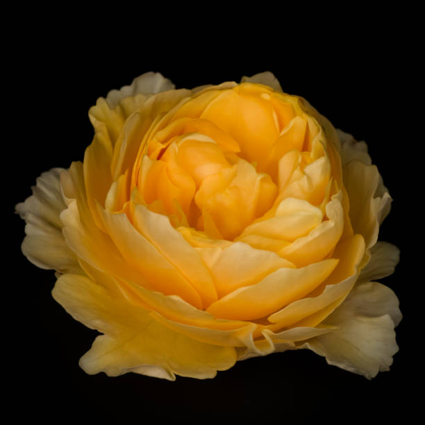 Yellow rose flower isolated on the black background stock photo