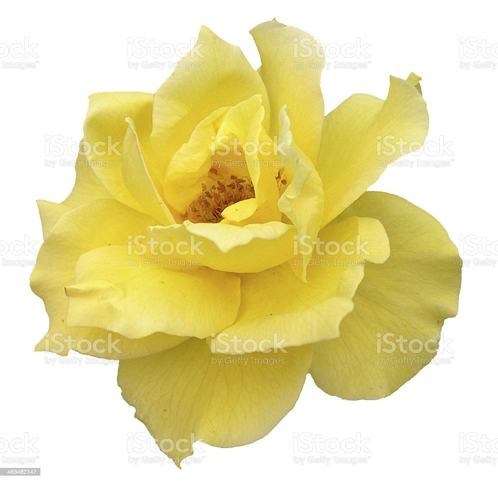 Yellow Rose Flower Isolated on White stock photo