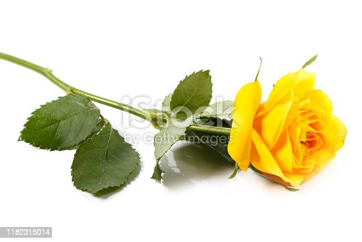 Yellow rose flower on white background