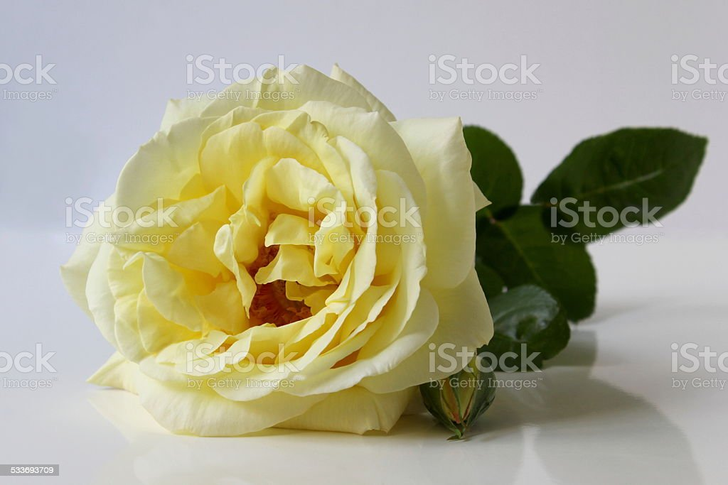 Yellow Rose Flower Stock Photo More Pictures Of 2015 Istock