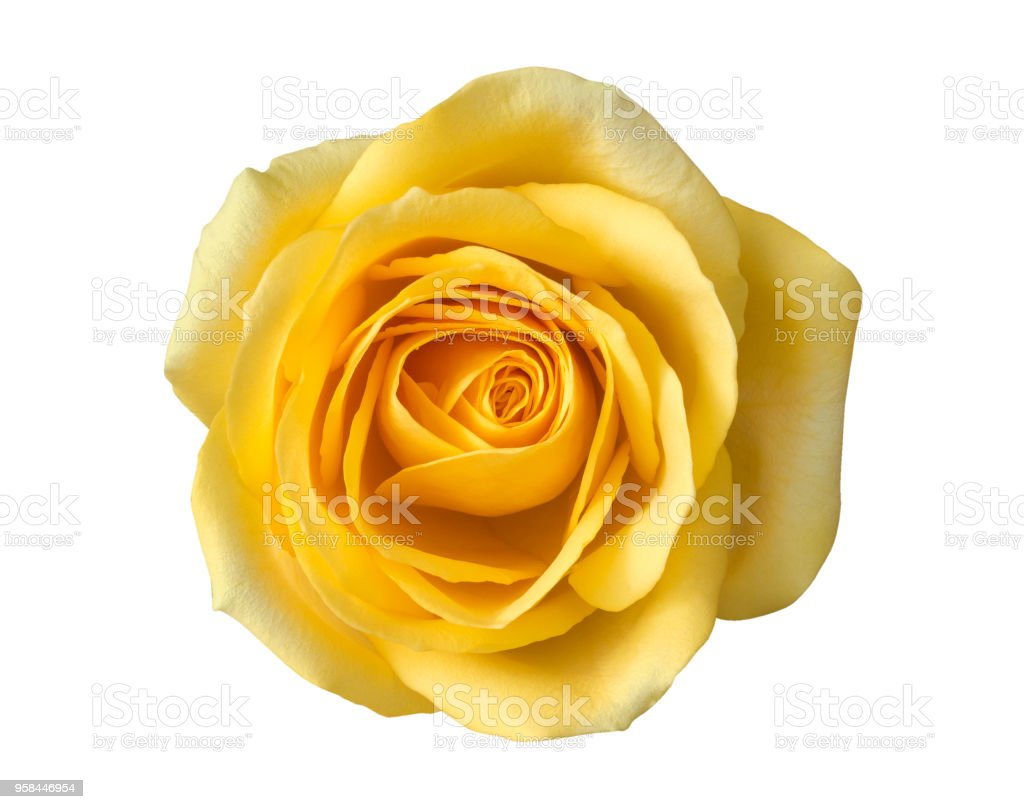 Yellow rose flower top view isolated on white background, clipping path included