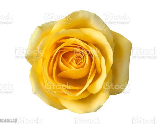 Yellow rose flower top view isolated on white background clipping picture id958446954?b=1&k=6&m=958446954&s=612x612&h=efds0jk nvhxjhfyr4m7zvbhbcphpwprbdoysbvpeic=