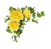 istock Yellow rose flowers with eucalyptus leaves 952720400