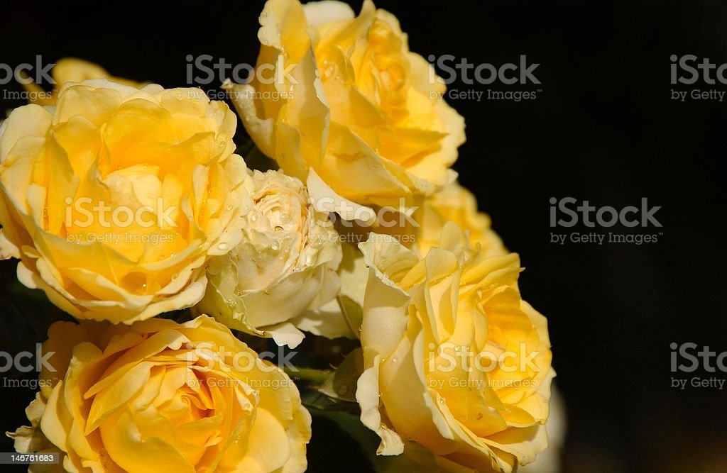 Yellow rose in bloom royalty-free stock photo