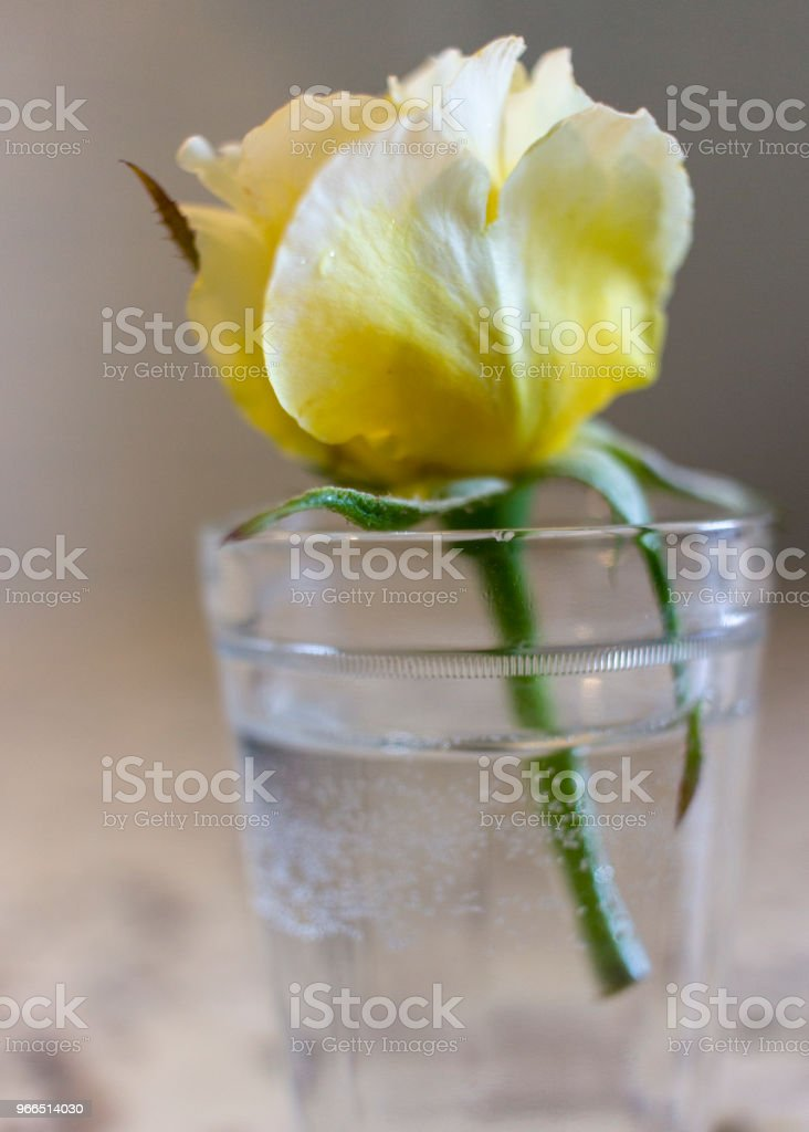 Yellow rose in small glass of water stock photo