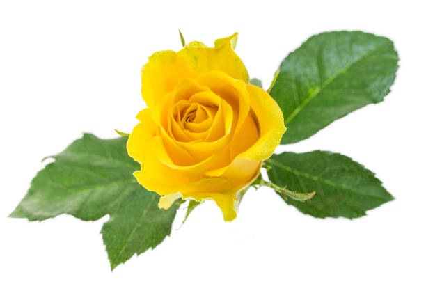 Yellow rose. Isolated on a white, with clipping path. view from above stock photo