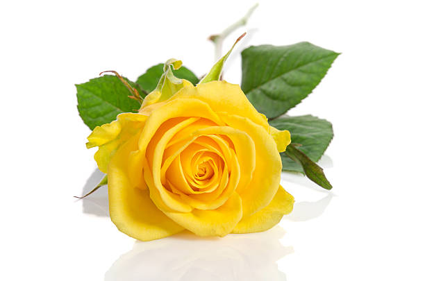 Yellow rose isolated on white background picture id507953834?b=1&k=6&m=507953834&s=612x612&w=0&h=89ue9vkkjrypmoghf1cgzmhet0zjwmjdkozgei8yyfu=