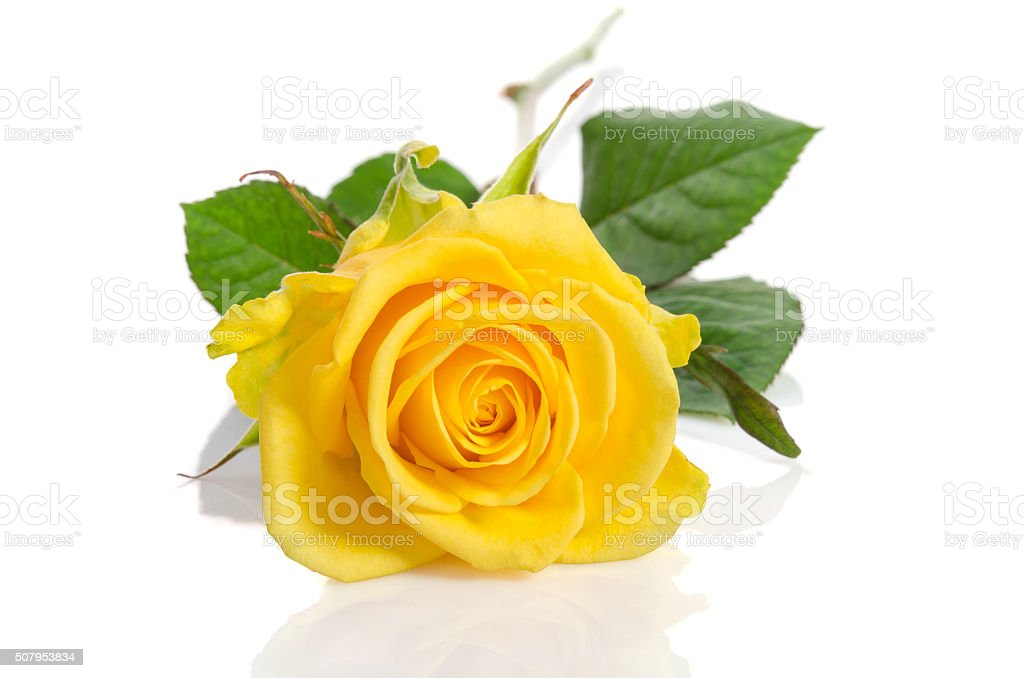 Yellow rose isolated on white background stock photo