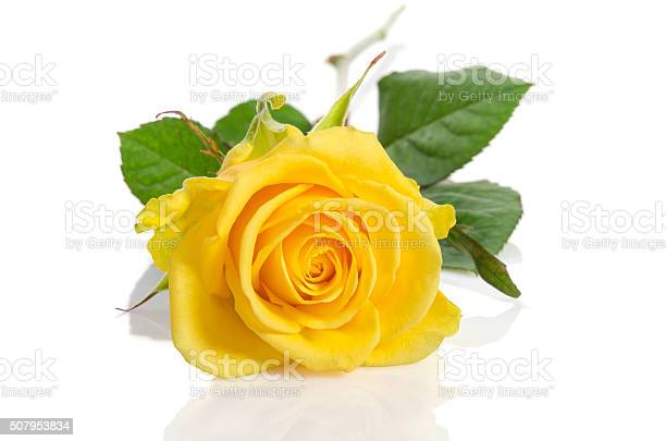 free yellow rose isolated images pictures and royalty