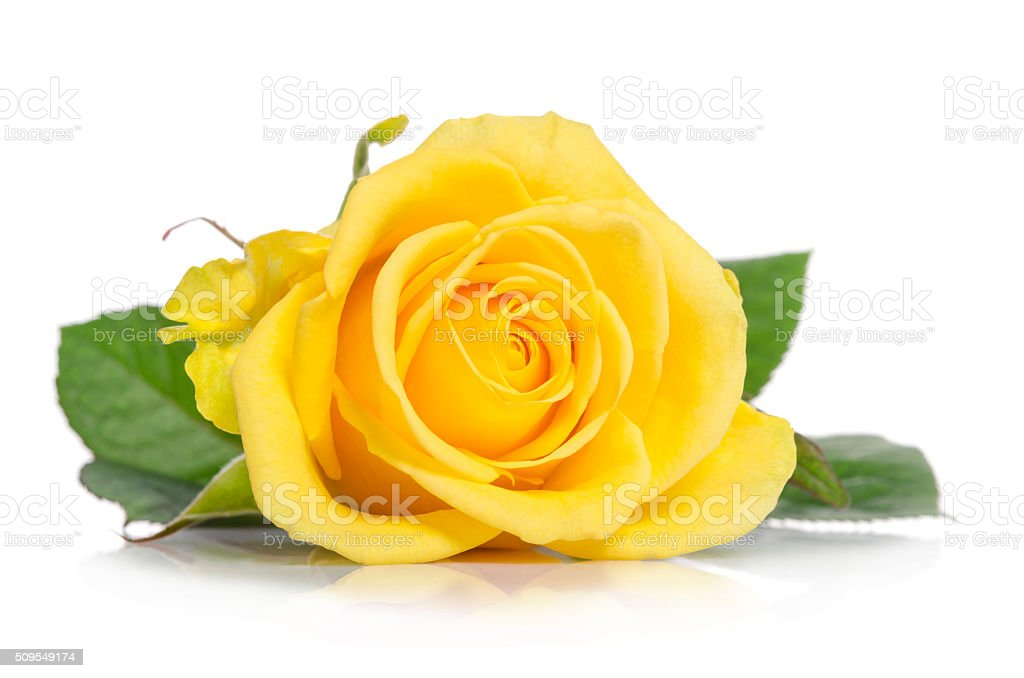 yellow rose isolated on white background stock photo