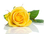 Yellow rose isolated on white background