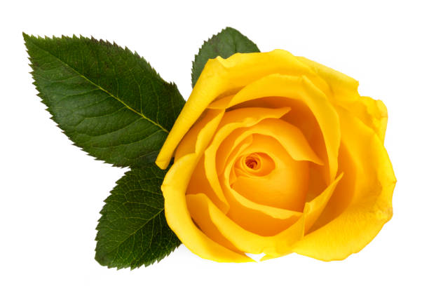 Royalty free single yellow rose pictures images and stock photos yellow rose isolated on white top view stock photo mightylinksfo