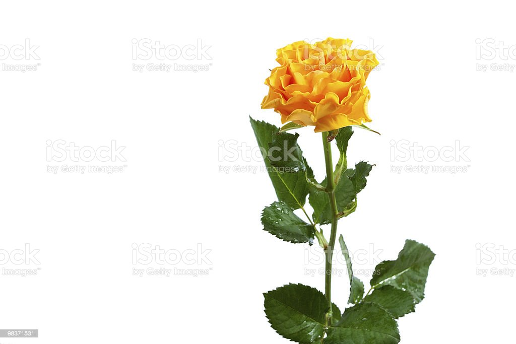 yellow rose isolated royalty-free stock photo